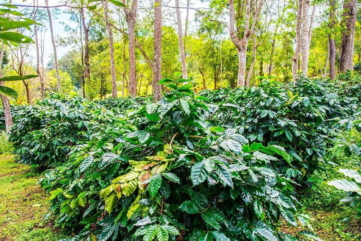 Deliano-Kaffepflanze4KtJDu4AZScSY